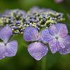 2011紫陽花