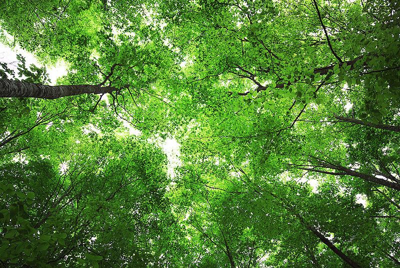 ブナ原生林