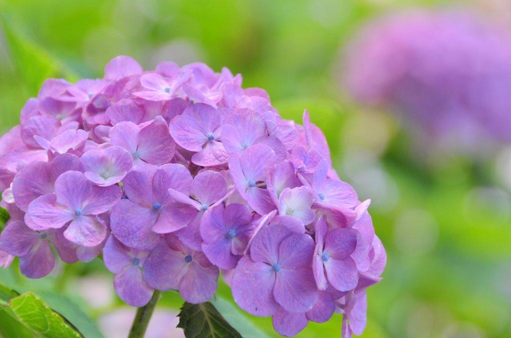 頑張る紫陽花