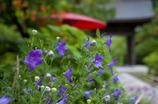 桔梗咲く庭