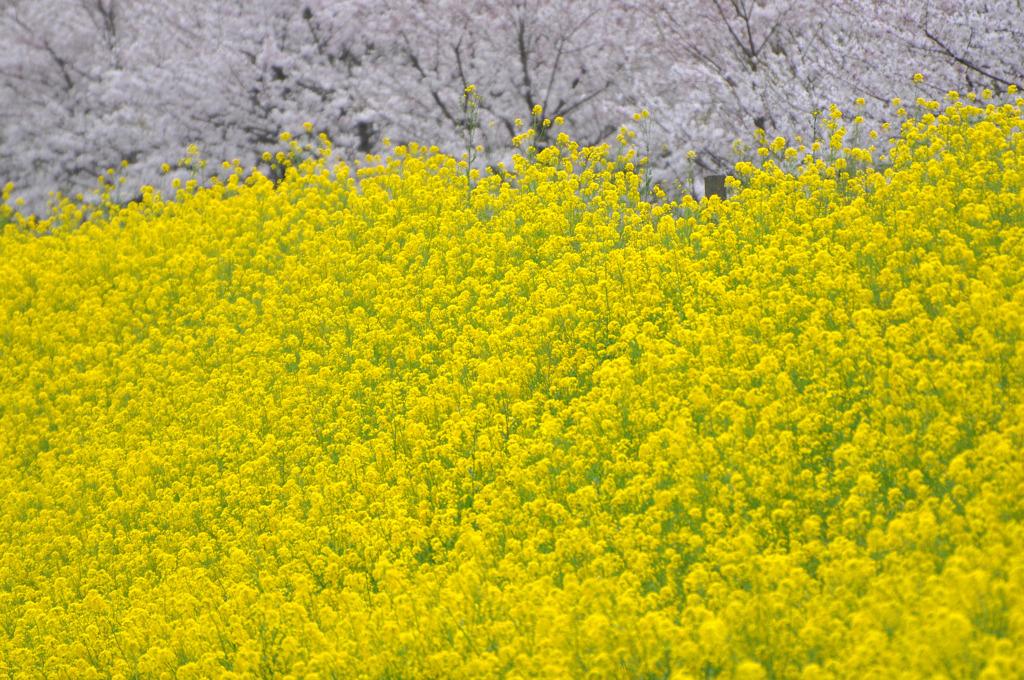 春真っ只中