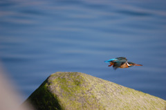 カワセミ飛翔