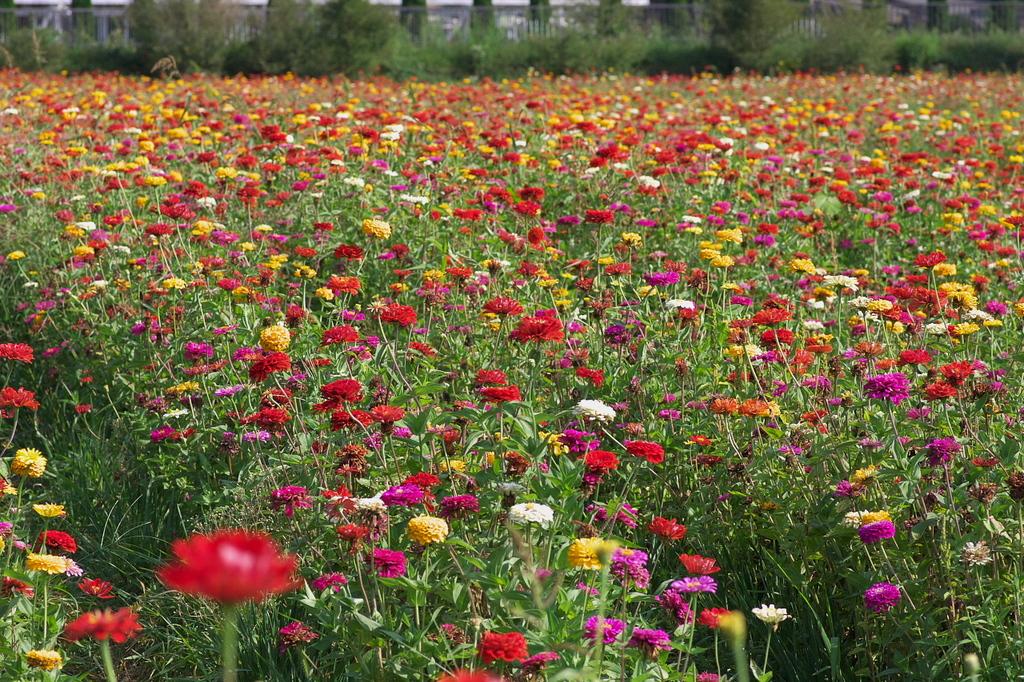 山中湖花の都公園3