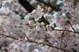 綺麗な花<桜