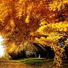 紅葉する黄金の町