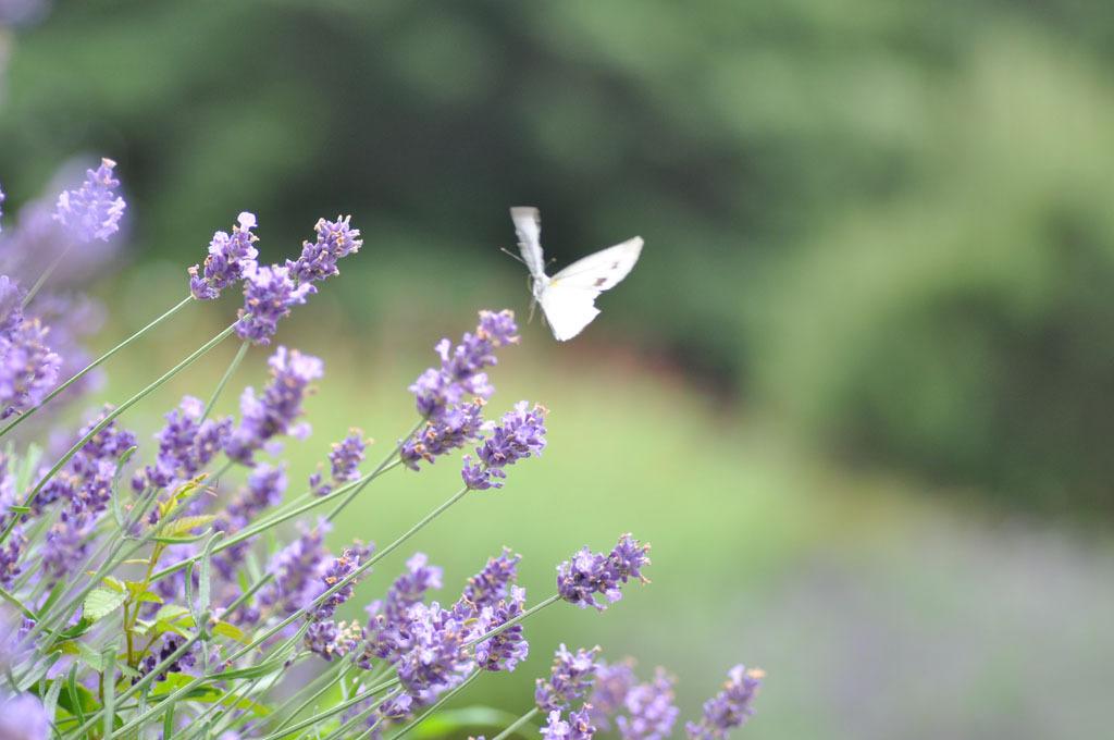 ラベンダーに蝶