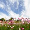 季節の便り_法起寺の秋桜_01