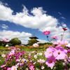 季節の便り_法起寺の秋桜_02