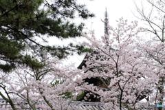 桜咲く法隆寺_03