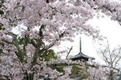 桜咲く法隆寺_01