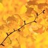 CANON Canon EOS Kiss X2で撮影した風景(黄色)の写真(画像)
