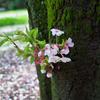 苔むした桜の木