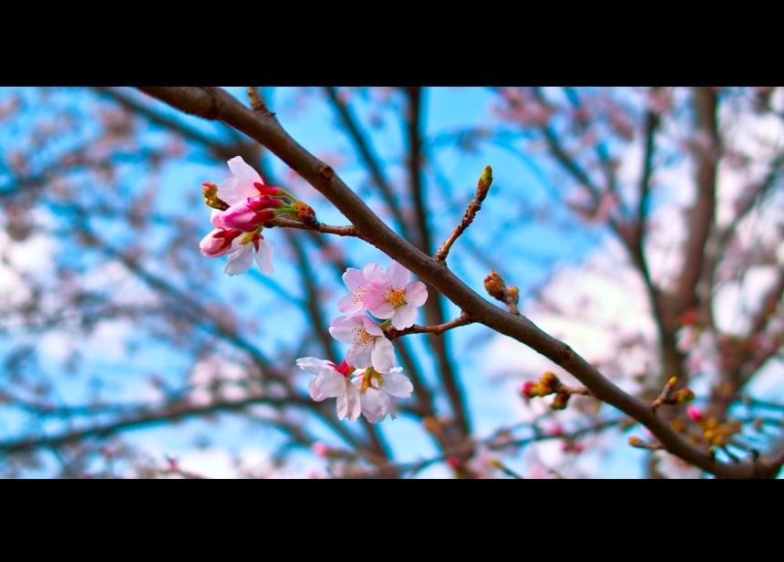 桜です トリミング