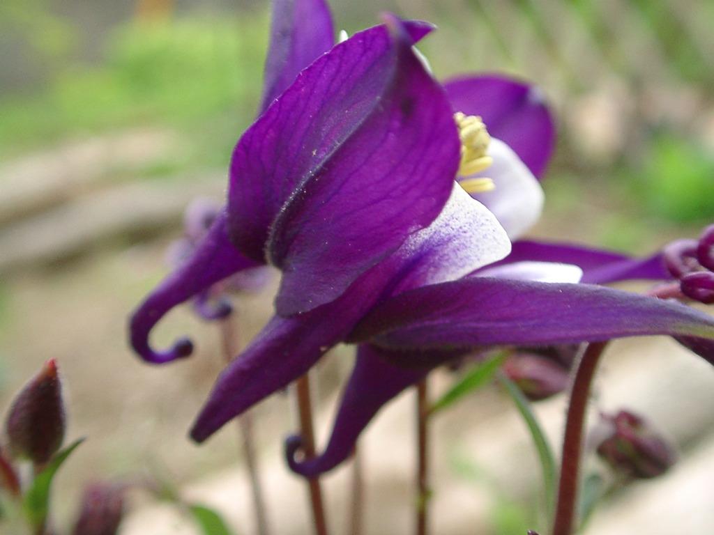 オダマキ紫07