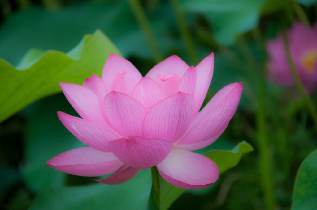 shining lotus