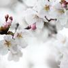 枝線上の桜