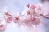 花びら透明感