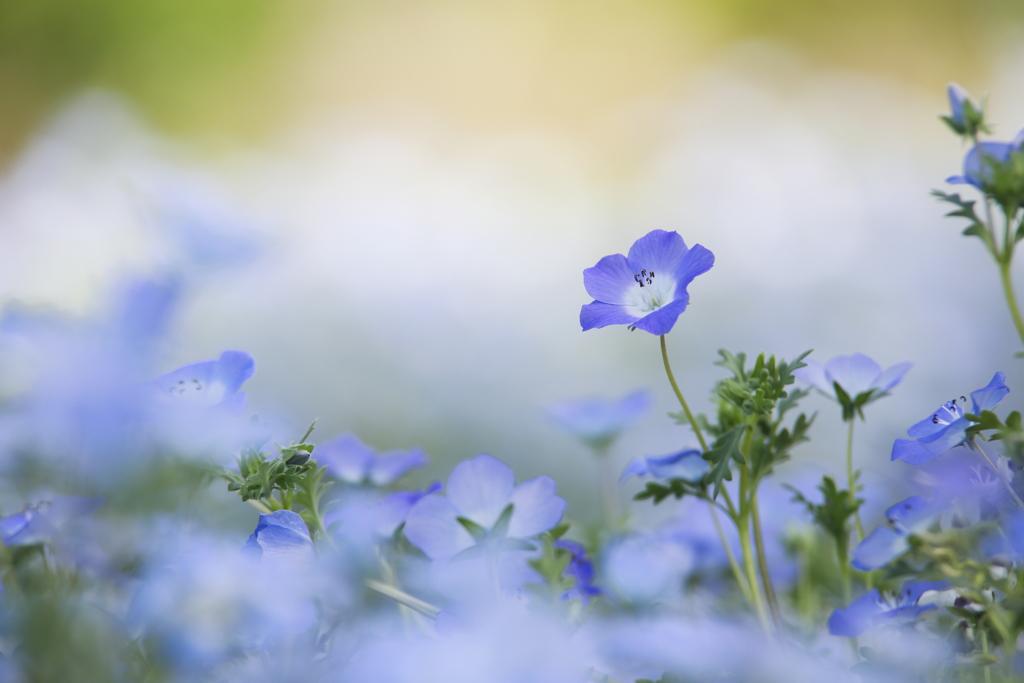 青く可憐に咲いて