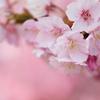 桜色豊かに