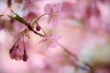 桜色久しく