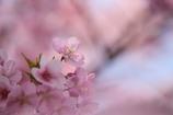 花びらにそっと春の光をのせて