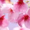 花見の春~土曜日の公園から