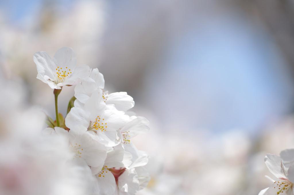 水色と桜色