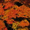 午前7時半の紅葉