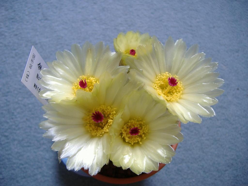 金小町開花