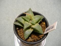 テッセラータ交配種