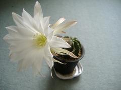 サブデヌダータ開花2