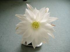 サブデヌダータ開花1