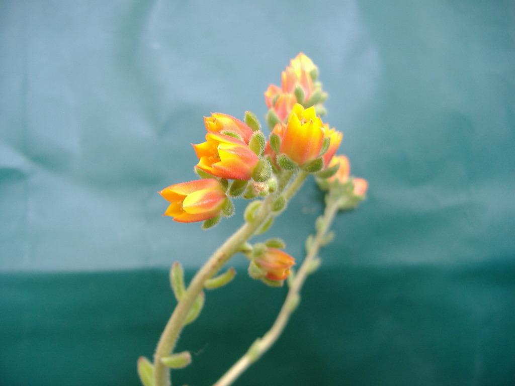 セトーサ開花