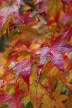 紅葉と朝露