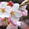 日本人の心に桜咲け!