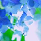 雫・・ (紫陽花)