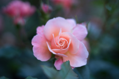 Rose  collection    2018-08