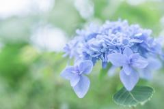 紫陽花 collection  2018-08