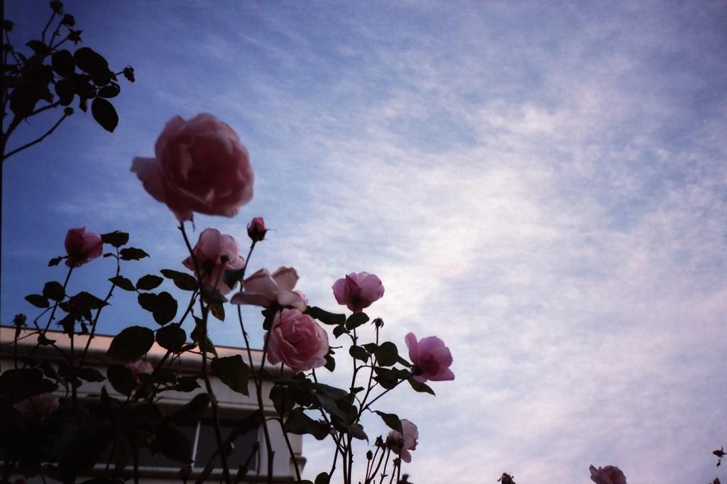 LOMO / 冬空に咲く