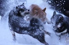 雪まみれで遊ぶ柴犬たち