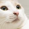 「ピンクのお鼻」 家猫151212