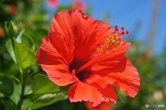 久米島に咲く花