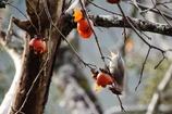 柿を食べるヒレンジャク
