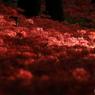 紅いセセラギ