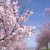 桜photo3