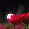 光と薔薇2