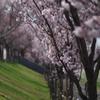 桜photo2