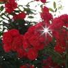 いろんな薔薇2