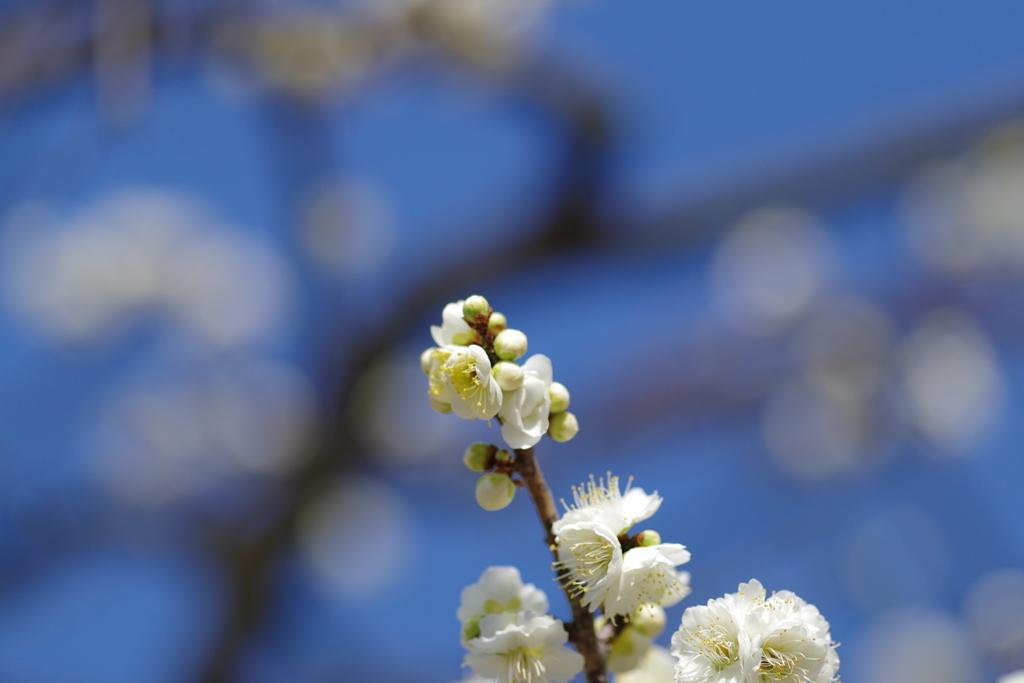 咲いたね 白