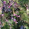咲いたね 枝垂れ
